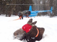 Moose capture