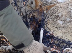 Coyote capture