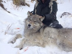 David with darted wolf