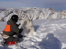 Releasing mountain goat